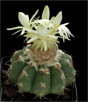 Cactus20