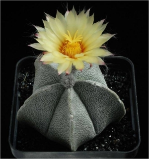 Cactus21