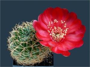 Cactus25