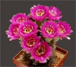 Cactus26