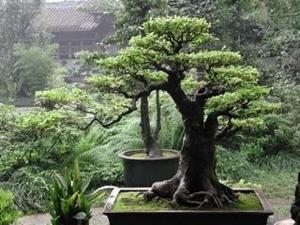 the best bonsai caring ways....