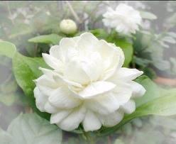 มะลิซ้อน  ยามเช้านี้มีดอกไม้มาฝาก เก็บมาจากสวนหน้าบ้านของคนฝัน ดอกไม้สีขาวพราวน้ำค้างชมจันทร์ ในมือหนึ่งของฉันหวังให้คุณ