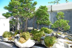 ฤดูใบไม้ร่วง (Fall) ในสวนบอนไซใน Arboretum หรือบางทีเรียก Botanical Garden ในเมือง Asheville, North Carolina