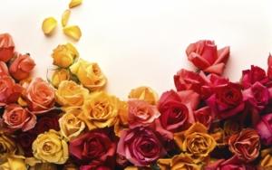 Fresh Rose panel