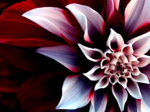 flower wallpapers 0055