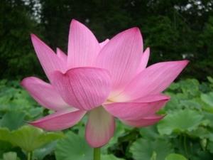 lotus0601