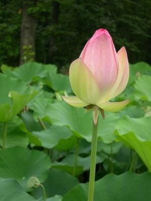 lotus0602