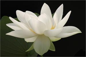 Lotus Flower IMG 1724