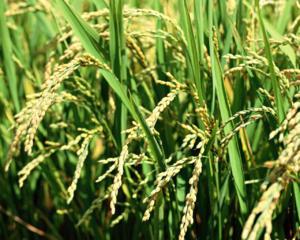 Rice Field 5 SP52P5C33T 1280x1024