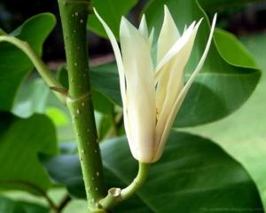 white chempaka