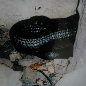 งูในถ้ำที่หลวงปู่อยู่