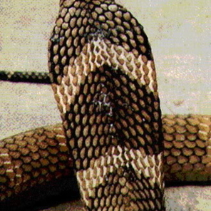 งูจงอางด้านหลัง