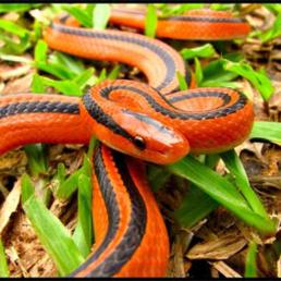 งูทางมะพร้าวแดง