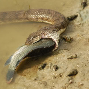 งูปากกว้างน้ำเค็ม