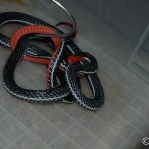 งูพริก(พลิก)ท้องแดง
