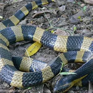 งูทับสมิงคลา