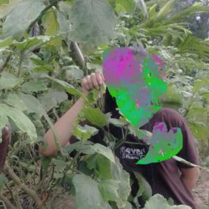 ต้นมะเขือน้องแตน