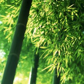 ภาพพื้นหลังไม้ไผ่ bamboo 29