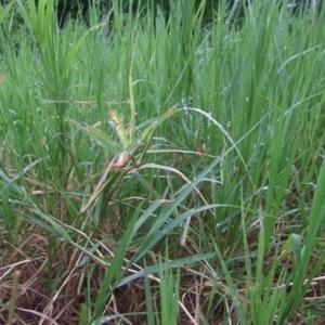 หญ้าหวาย