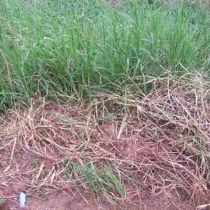 หญ้าหวาย01