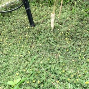 หญ้าเม็ดแตง11