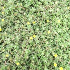 หญ้าเม็ดแตง
