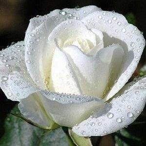 กุหลาบสีขาว เป็นสีแห่งความรักที่ใสสะอาด บริสุทธิ์ น่าทะนุถนอม โดยไม่คิดเลยว่าความรักที่มอบให้ไปนั้น จะได้ความรักตอบกลับมาหรือเปล่า
