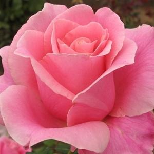 กุหลาบสีชมพู เป็นความโรแมนติกที่แสดงถึงความรักที่หวานซึ้งที่ผู้ให้มีต่อผู้รับ