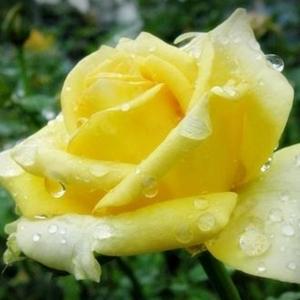 กุหลาบสีเหลือง เป็นตัวแทนแห่งมิตรภาพ และยังสื่อถึงความห่วงใยของผู้ให้ด้วยหลายคนเชื่อว่าเป็นดอกไม้ที่ใช้สำหรับเยี่ยมคนป่วย แต่จริงๆ แล้วก็สามารถให้เพื่