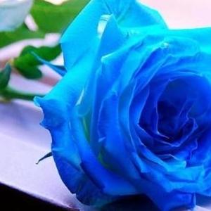 กุหลาบสีฟ้า หมายถึง ปาฏิหาริย์ความหวัง ความสำเร็จที่ยากจะเกิดขึ้นแต่สามารถเป็นจริงได้ ความอดทน แข็งแกร่ง ดอกไม้แห่งความฝันที่สวยงาม และมั่นคงตลอดกาล